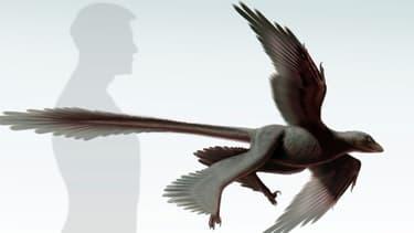 Une image du Changyuraptor yangi, un dinosaure à plumes d'1,30m.