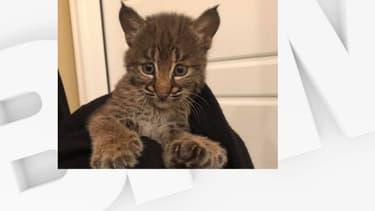 Le petit lynx retrouvé sur le bord d'une route du Teneessee.