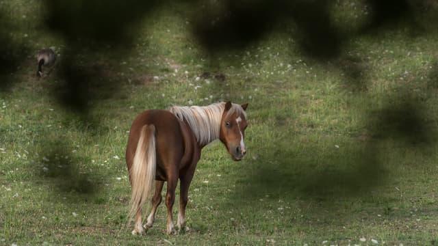 Un cheval a été abattu d'une balle dans la tête, en Grande-Bretagne, après un différend financier portant sur une somme dérisoire de 37,8 euros. (Photo d'illustration)