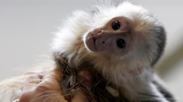 Mally, le singe capucin ayant appartenu à Justin Bieber, est désormais propriété de l'Etat allemand, la popstar canadienne n'ayant pas présenté à temps les documents nécessaires pour récupérer l'animal bloqué en douanes. L'animal avait été intercepté en m