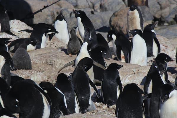 Des manchots Adélie à proximité de la base scientifique française Dumont-d'Urville, en Antarctique, en 2020