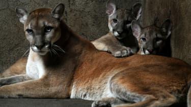 Une femelle puma et ses deux petits dans un zoo au Nicaragua, le 25 janvier 2012
