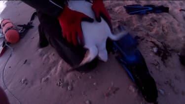 À Chypre, des plongeurs sauvent une tortue en lui faisant un massage cardiaque