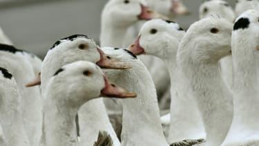 Des canards confinés dans une ferme en raison de la grippe aviaire, le 22 février 2017 à Bourriot-Bergonce dans les Landes