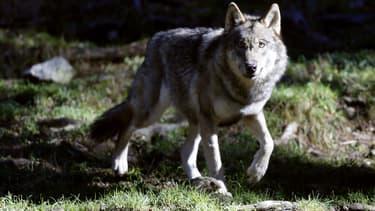 Un loup au parc Mercantour à Saint-Martin-Vésubie, le 13 novembre 2012.