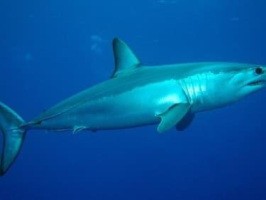 Un requin mako au large des Açores (PHOTO D'ILLUSTRATIO)