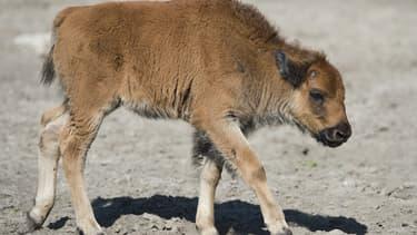 Un bébé bison dans un zoo de Berlin, en 2012 (image d'illustration). - John MacDougall - AFP
