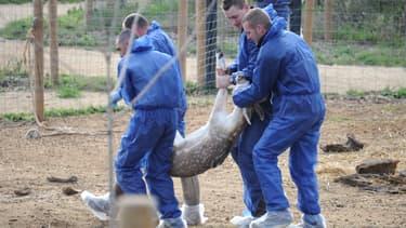 Des employés de l'association de la Fondation 30 Millions d'Amis et de la Fondation Brigitte Bardot portent un cerf lors de son évacuation de son enclos au parc zoologique du Val d'Hérault à Saint-Thibery, dans le sud de la France, le 29 décembre 2015