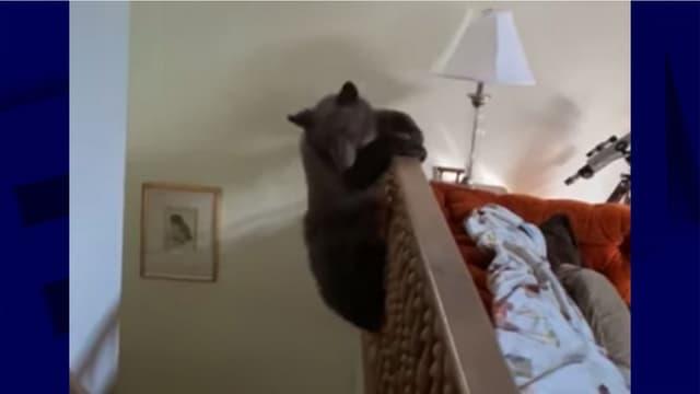 L'un des ours qui s'amusait dans la maison
