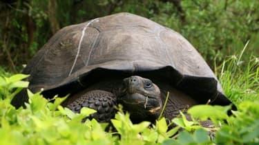 Un spécimen de tortue géante Chelonoidis donfaustoi, espèce découverte aux Galapagos en 2015. Un spécimen vivant de Chelonoidis Phantasticus, espèce que l'on croyait éteinte depuis plus de cent ans, a été récemment découvert dans l'archipel