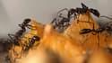 Les fourmis seraient plus oisives que l'on croit.