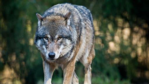 Un loup photographié en Allemagne