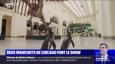 Deux manchots visitent le musée d'histoire naturelle de Chicago