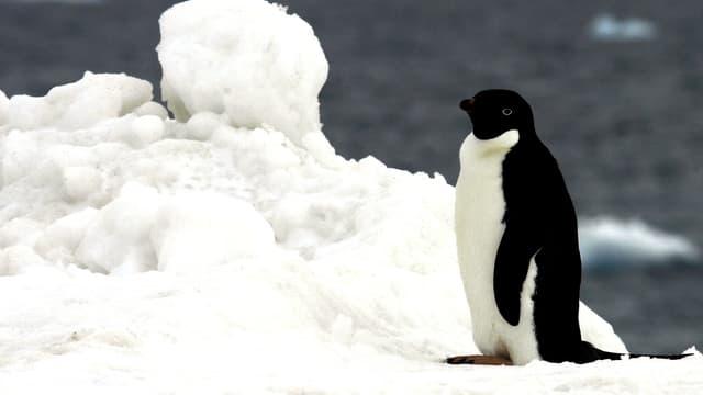 En Antarctique, 1.5 million de manchots Adélie découverts