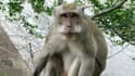 "Un macaque crabier ou ""macaque à longue queue"""