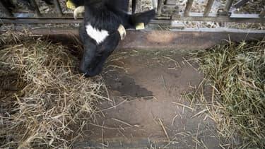 En raison de températures dépassant les 35 degrés, les vaches sont particulièrement stressées