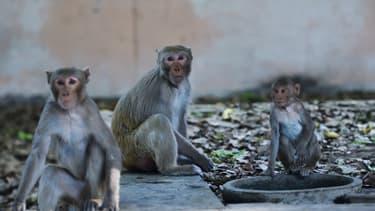 Des singes aux abords d'une route près de New Delhi le 8 avril 2020