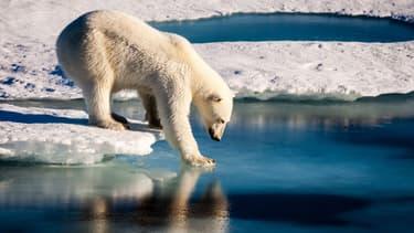 Un ours polaire teste la solidité de la glace arctique (photo d'illustration)