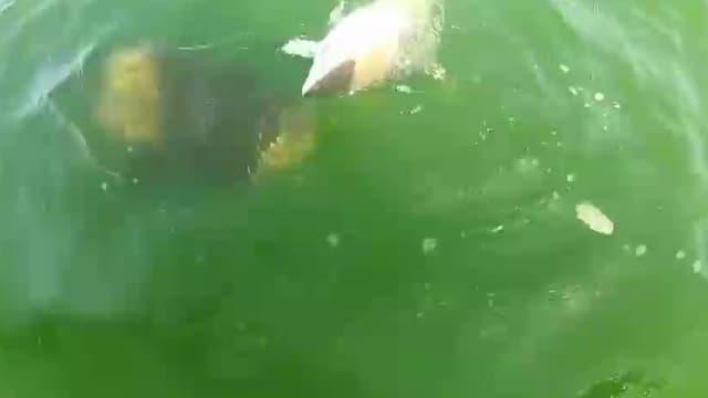 Un requin se fait avaler en une bouchée par un éorme mérou goliath.
