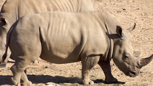 339 rhinocéros ont déjà été massacrés depuis le début de l'année. Le triste record est en passe d'être battu.