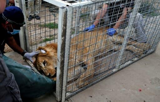 Simba, le lion abandonné du zoo de Mossoul, le 28 mars 2017