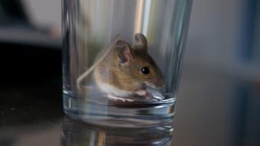 La souris a été retrouvée dans le calendrier de l'Avent d'une petite fille résidant dans l'Hérault. (Photo d'illustration)