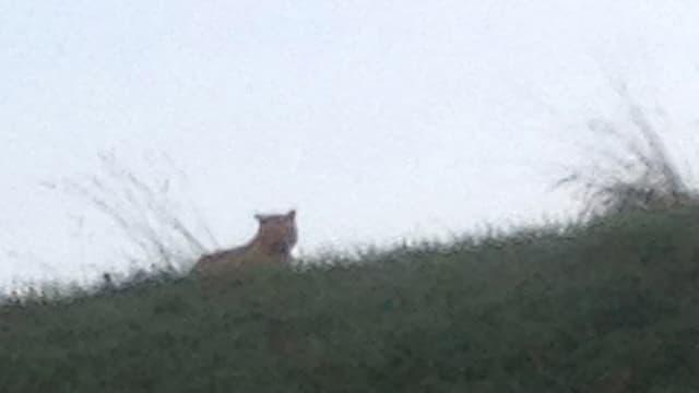 Le tigre aperçu jeudi en liberté en région parisienne n'a toujours pas été retrouvé.
