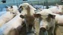 Un élevage de porcs.