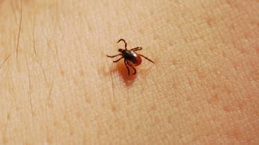Nymphe de Ixodes scapularis, tique vectrice de la maladie de Lyme.