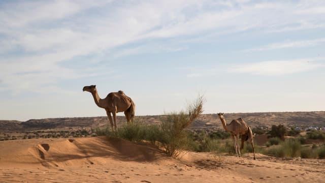 Des dromadaires dans le désert près de Oualata, en Mauritanie, le 21 novembre 2018 (photo d'illustration)