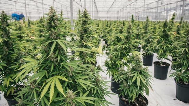 Les plants de cannabis de Canopy Growth (Photo d'illustration)