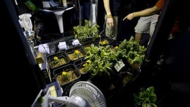 Une étude estime que la légalisation du cannabis rapporterait de l'argent à l'Etat.