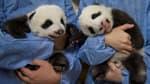 Les bébés pandas du zoo de Beauval