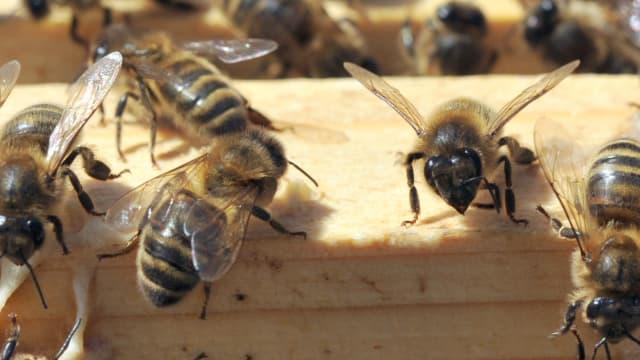 Un insecticides tueur d'abeilles sera interdit en 2018