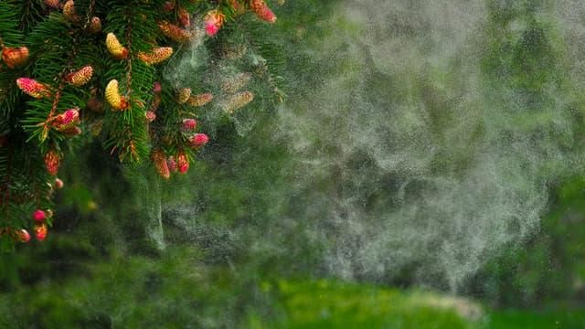 Un arbre expulse ses pollens