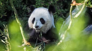 La femelle panda Huan Huan au zoo de Beauval en septembre 2019.