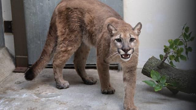 """""""Sasha"""", le puma retiré à ses propriétaires par les autorités new-yorkaises"""