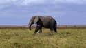 Les éléphants d'Afrique sont menacés de disparaître.