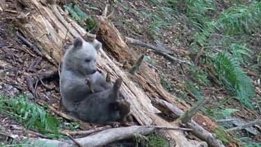 Tarn: un appel à témoins lancé pour retrouvé un ourson
