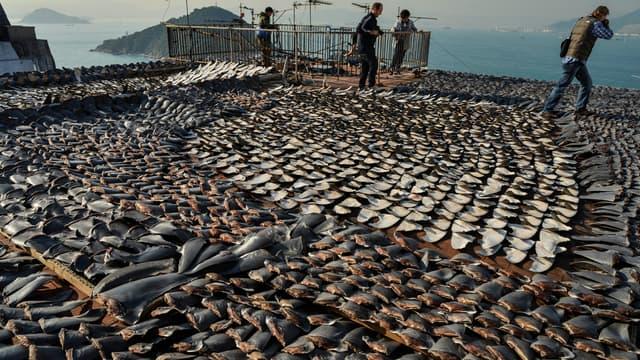 Des ailerons de requins séchant sur le toit d'une usine, à Hong-Kong, en janvier 2013.