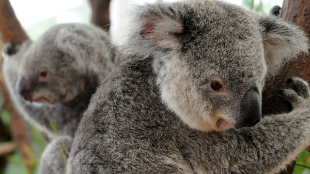 Deux koalas secourus au Lone Pine Koala Sanctuary à Brisbane, en Australie, le 15 janvier 2011 (photo d'illustration)