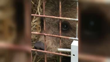 L'ourson récupéré ce lundi 10 juin 2019 à Couflens, en Ariège.