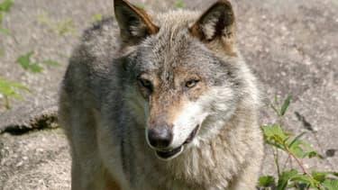 Le loup a été abattu dans la nuit du 14 au 15 mai, en Savoie.