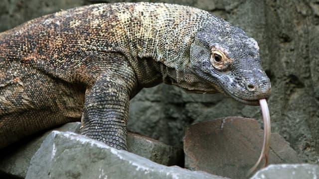 Un dragon de Komodo dans un zoo de Londres, image d'illustration.
