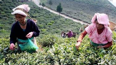 En raison du conflit entre les Gorkhas, une ethnie népalaise à laquelle appartiennent les ouvriers dans les plantations, et le gouvernement du Bengale occidental, la production de thé Darjeeling a dégringolé de 90% en juin.