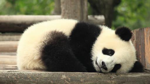 Un panda dans son habitat naturel en Chine.