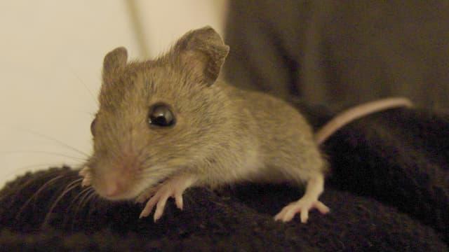 L'équipe de Teruhiko Wakayama, du centre Riken pour la biologie du développement, a produit au total 598 souris semblables en sept ans grâce à une technique de clonage. (photo d'illustration)