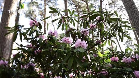 Où planter un rhododendron