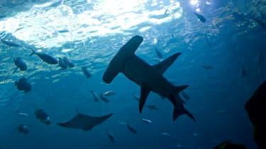 Le dernier des 30 requins prélevés en Australie est mort jeudi (illustration).