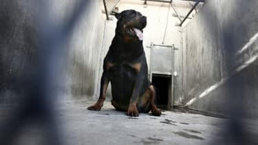 Un rottweiler (photo d'illustration)